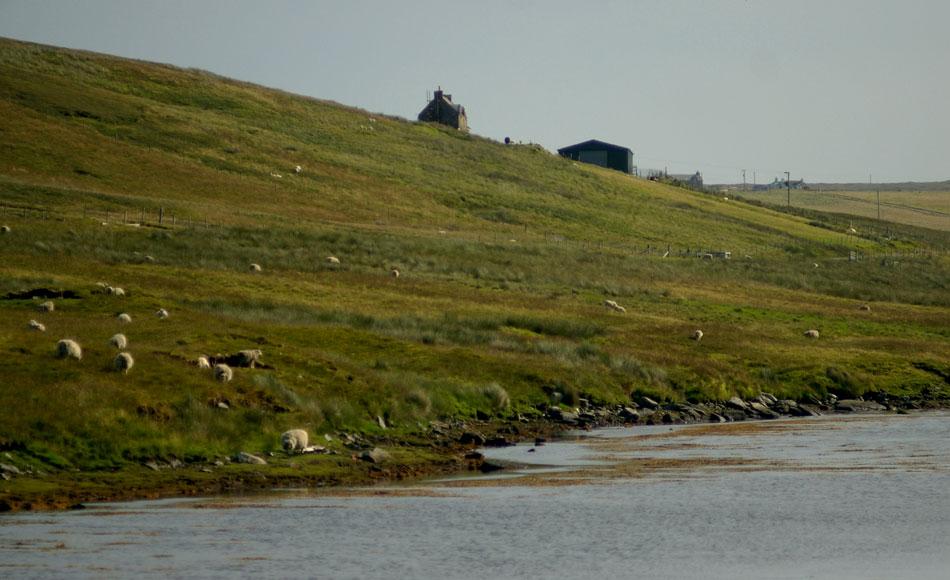04-grazing-shetland-sheep
