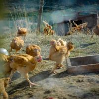 Meat Chickens: What you need to know before you raise them