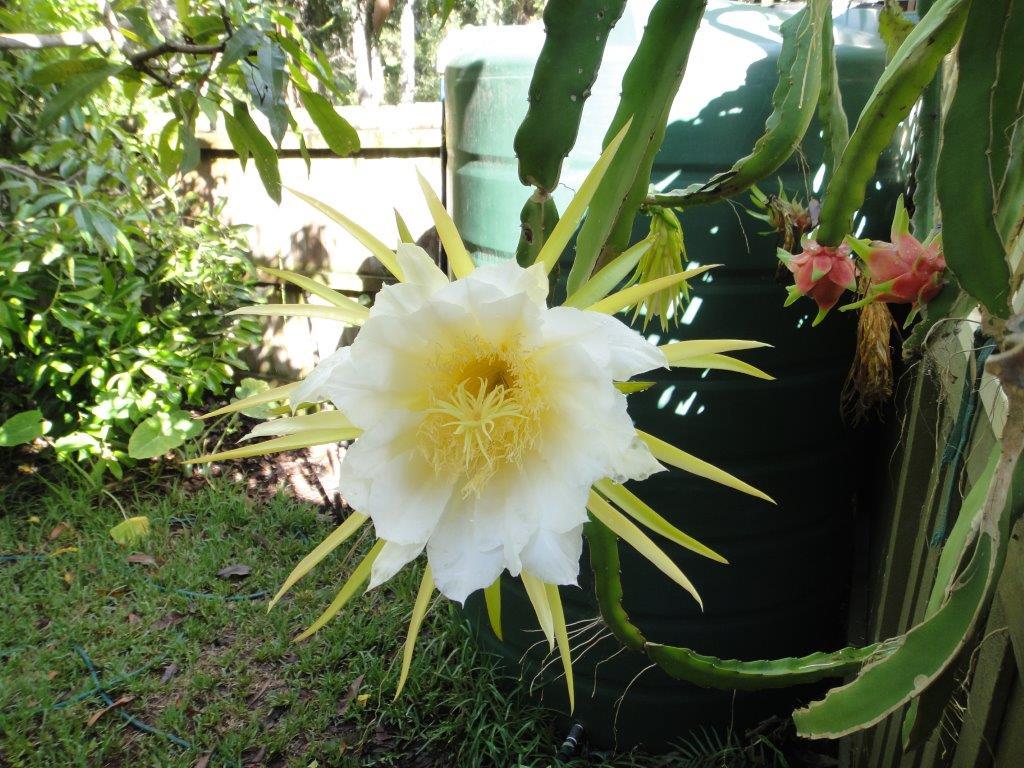 Ideal Dragon Fruit Flower Dragon Fruit Extreme Horticulturist Dragon Fruit Flower Meaning Dragon Fruit Flower Buds Turning Yellow houzz-02 Dragon Fruit Flower