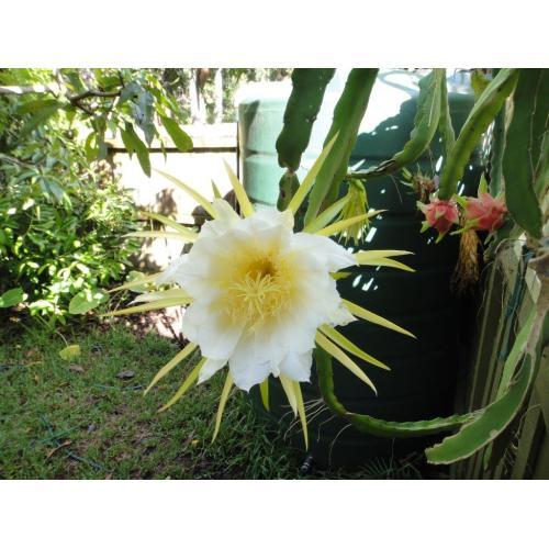 Medium Crop Of Dragon Fruit Flower