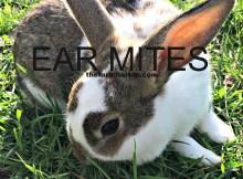 ear mites 9