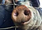 pigs-season-4-4