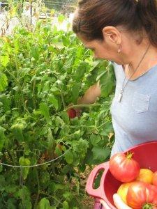 suzi tomatoes