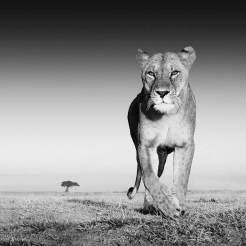The-Prize,-Amboseli,-Kenya