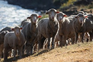 "Loro Piana's ""Gift of Kings"" line comes from the finest Merino sheep"