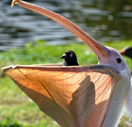 pelican-eats-pigeon