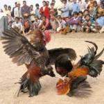 Killer Chicken Slashes Owners Throat