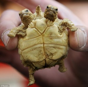 mutant- tortoise-two-heads