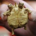 Two-headed tortoise born in Slovakia