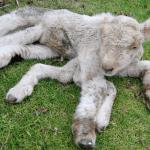 Seven Legged Goat