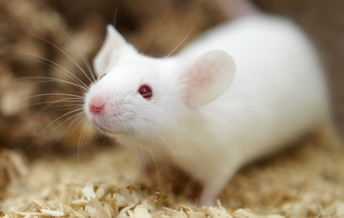 Infertile Mice Given 3D Printed Ovaries