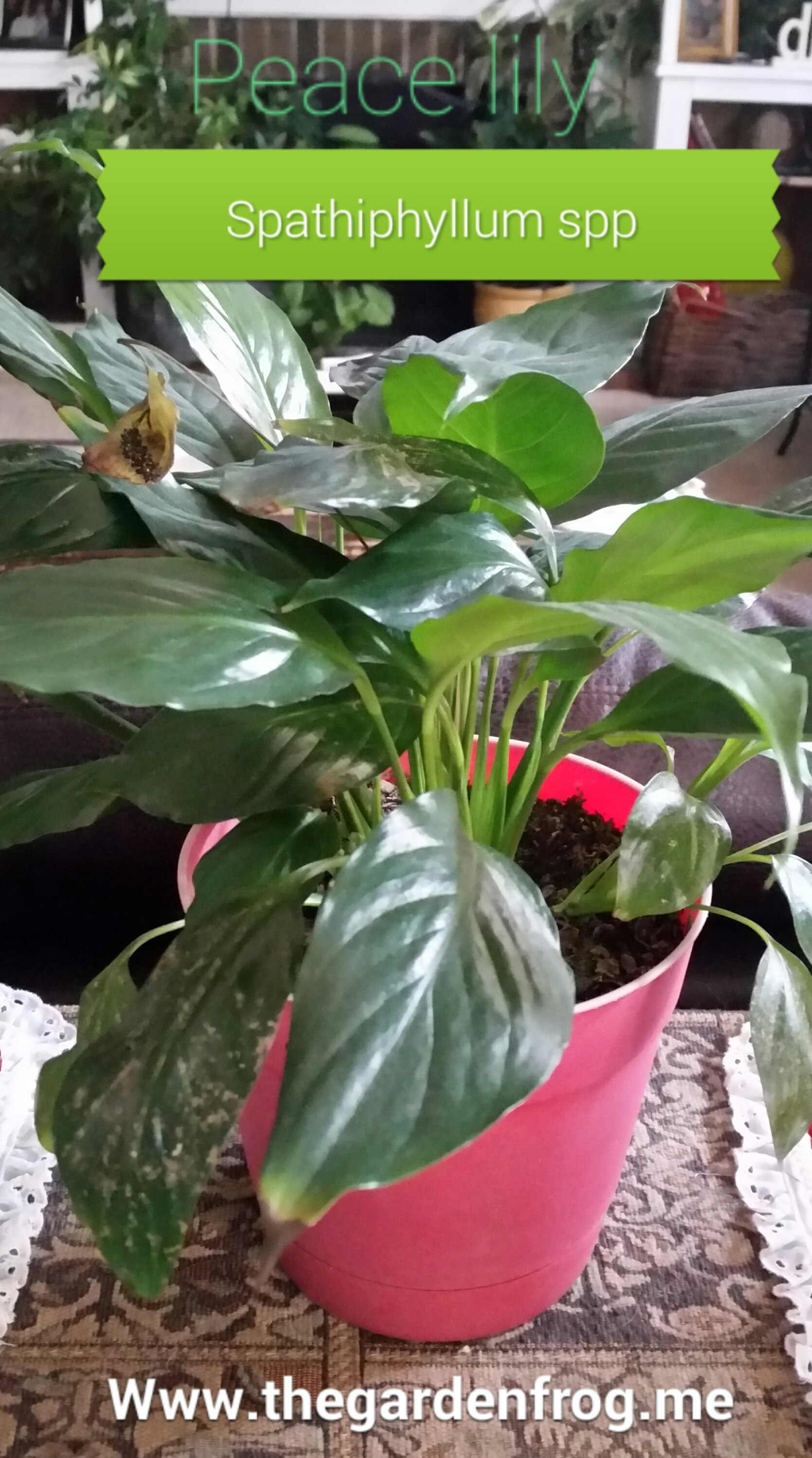 Showy Peace Spathiphyllum A Choice A House Peace Lily Peace Lily Leaves Brown Spots Peace Lily Brown Leaves Tips houzz-03 Peace Lily Brown Leaves