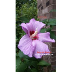 Small Crop Of Rose Of Sharon Hibiscus