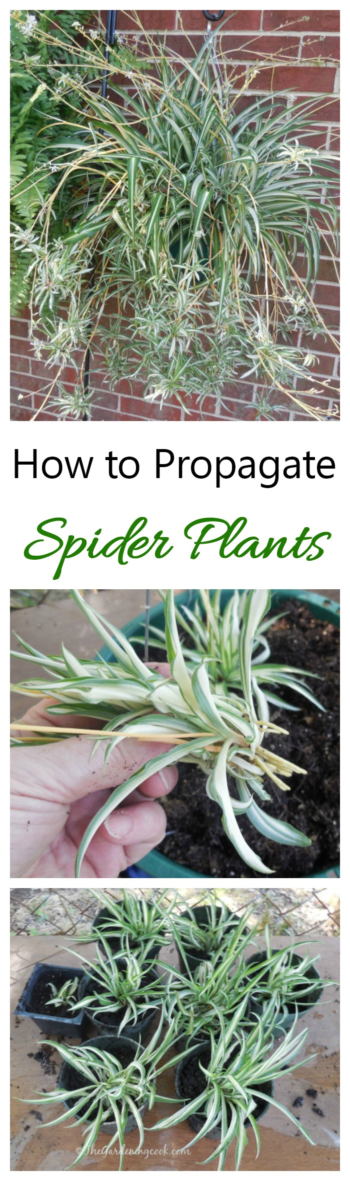 Calmly To Get Plants Learn How To Propagate Spider Plants From Propagate Spider Plants From Ir Babies Gardening Cook Spider Plant Babies When To Cut Spider Plant Babies Soil houzz-03 Spider Plant Babies