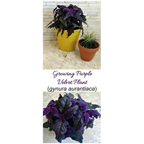 Medium Crop Of Purple Passion Plant