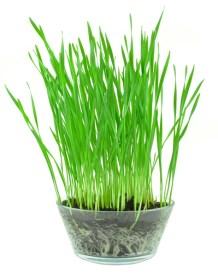 wheat grass green foods