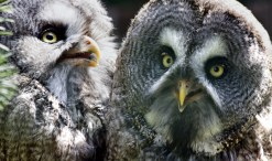 owls and rodenticides