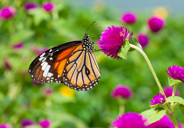 monarch butterfly & genetically engineered crops