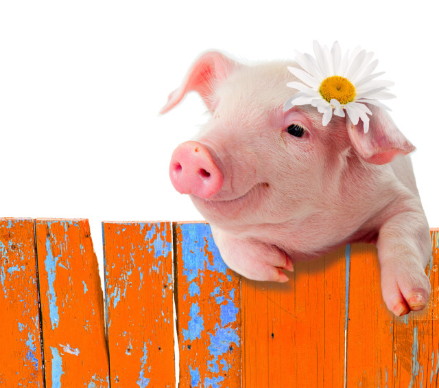 cute pig on a fence