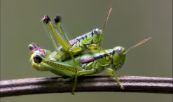 grasshoppers having sex
