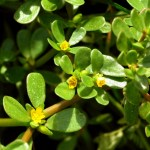 Purslane: A Nutritional Herb | Herbal Academy | Purslane is an excellent nutritional herb for food recipes, garden soil, and as an herbal medicine.
