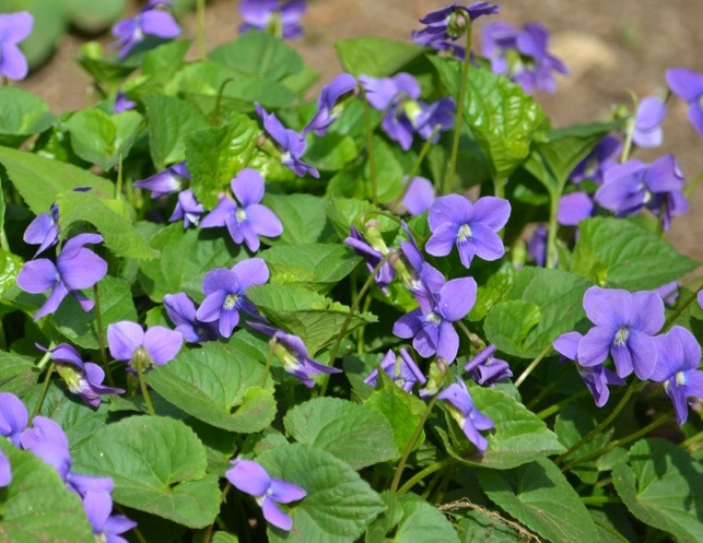 Sweet Violets of Spring | Herbal Academy | These flowers are the perfect pick for spring gatherers. From using them in food to pressing them for note cards, we have some inspirational ideas for using and enjoying the violets of spring!