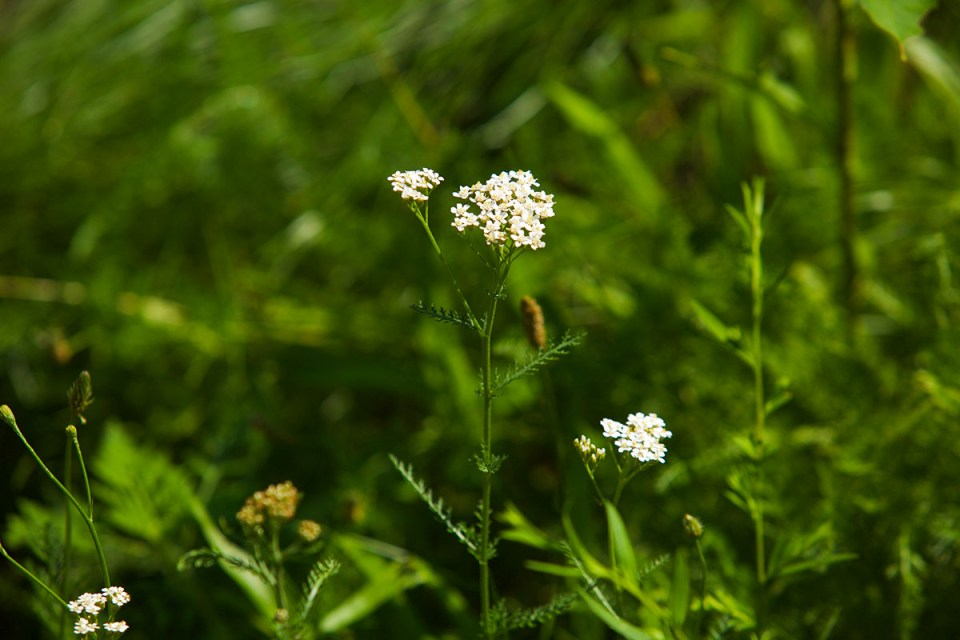 Adding Yarrow To Your Materia Medica | Herbal Academy | Would you like to add yarrow to your materia medica? Here's how to correctly identify and safely use this beneficial herb!