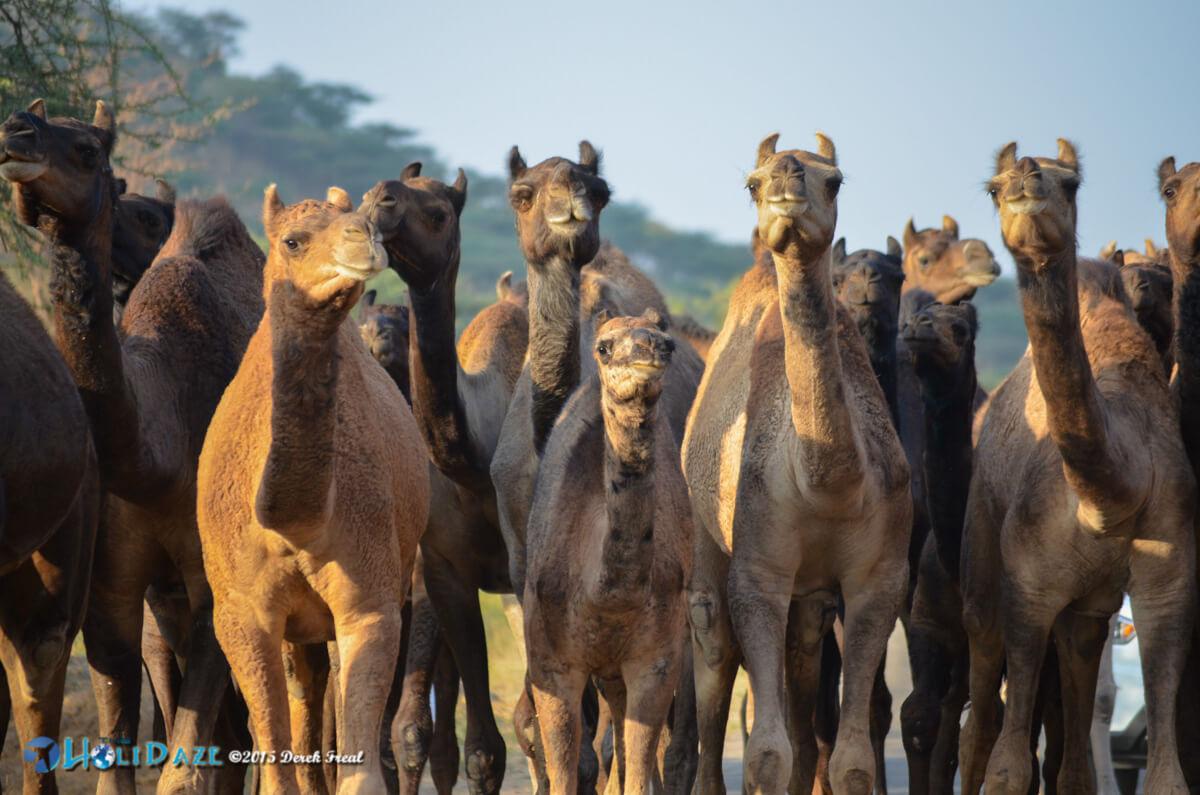 Camel herd at the Pushkar Camel Fair 2015