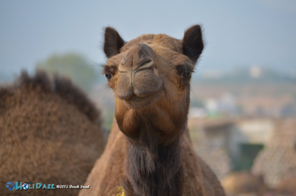 Camel close-up at the Pushkar Camel Fair 2015