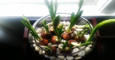 Paperwhites are blooming - The Hypertufa Gardener(1)