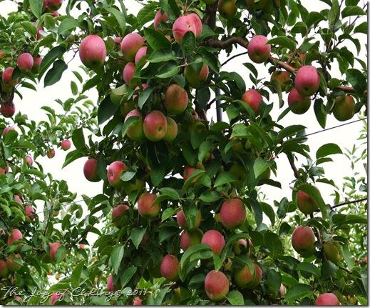 apples 005