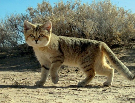 The shy Arabian sand cat