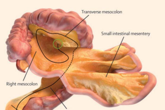 A digital representation of the small and large intestines and associated mesentery J Calvin Coffey, D Peter O'Leary, Henry Vandyke Carter - The Independent