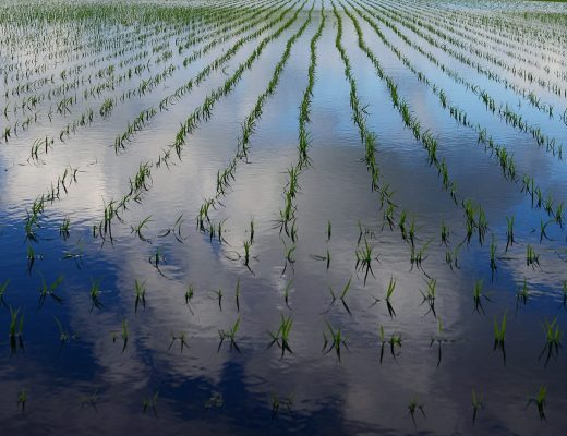 china have created Yuan Mi rice capable of growing in saltwater