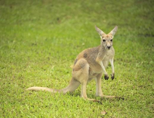 wallaby, wallabies, kangaroo, australia