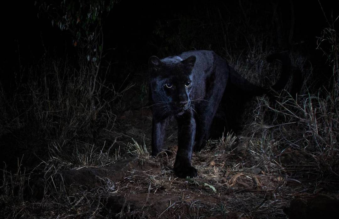 The last time a black leopard was photographed in Africa was in Ethiopia in 1909 - Will Burrard-Lucas
