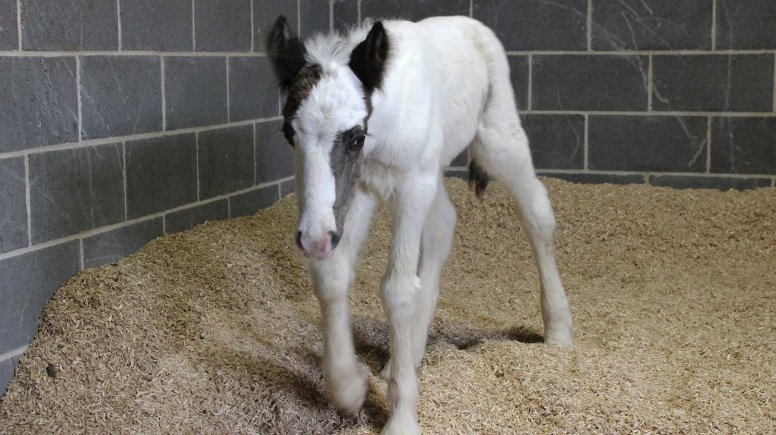 Moses the foal is in the care of staff at Bransby Horses near Lincoln. Photo: Bransby Horses