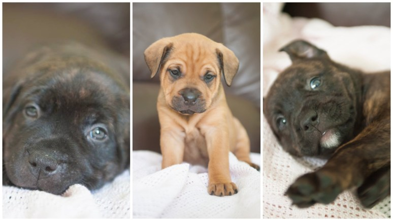 Puppies (L-R) Lucy Tara and Yasmin were stolen from their Lincoln foster home.