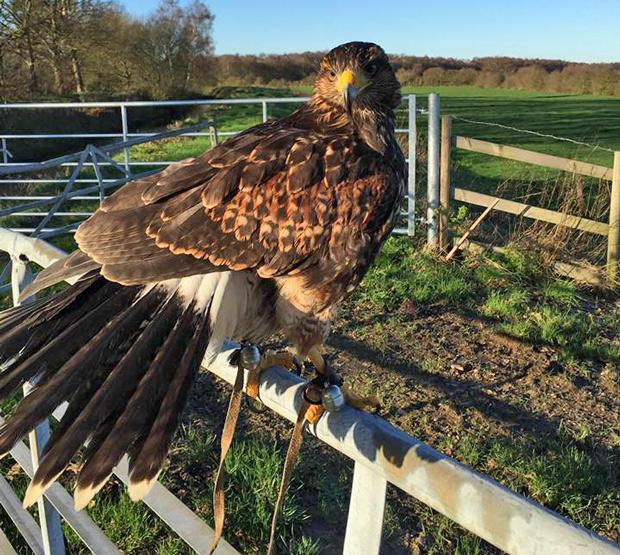 Orbit the hawk has been missing since around 8am.