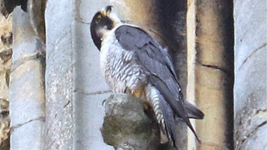 This year marks the 10th year of peregrines hatching at Lincoln Cathedral. Photo: Lincoln Cathedral/Lincoln RSPB
