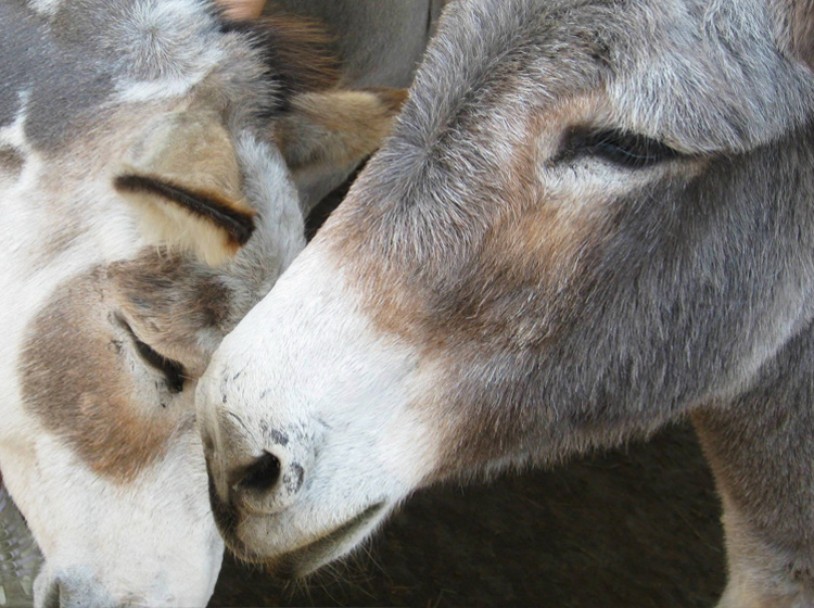 The Donkey Sanctuary – a place to call their own