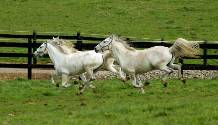 thelocalist.com-lipizzan-horses-chile