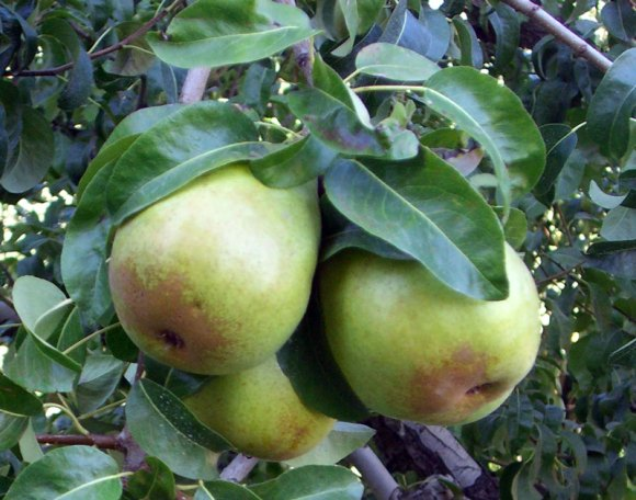 Northwest Pears on the Tree