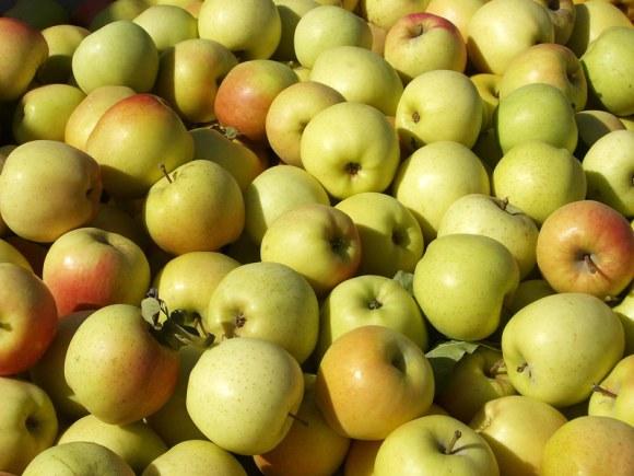 Golden delicious apples Apple Primer