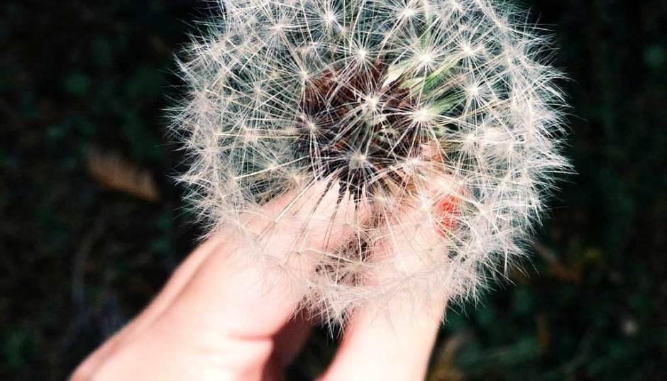 dandelion-closeup