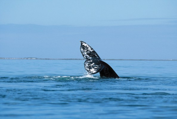 Whale watching season in Los Cabos; Photo credit: Los Cabos Tourism Board