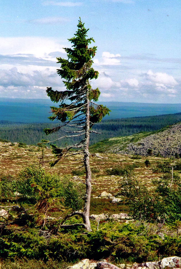 oldest tree old tjikko sweden