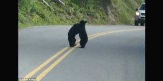 Two Bears Playing In The Middle Of The Road Stop Traffic And Stun Drivers