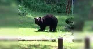 Meet Pedals The Bear. He Casually Walks Around On Two Feet Like It's Nothing…