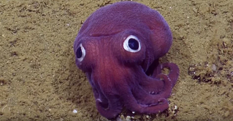Scientists Spot A Googly-Eyed Squid, Can't Stop Laughing At It